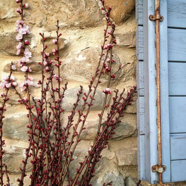 First signs of springapricot blossoms around the office lasegreta lasegretaumbriahellip