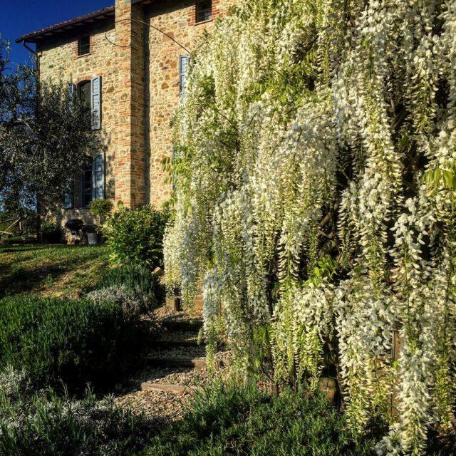 lasegreta lasegretaumbria collazzone madeincollazzone glicine glicinebianca wisteria rarr