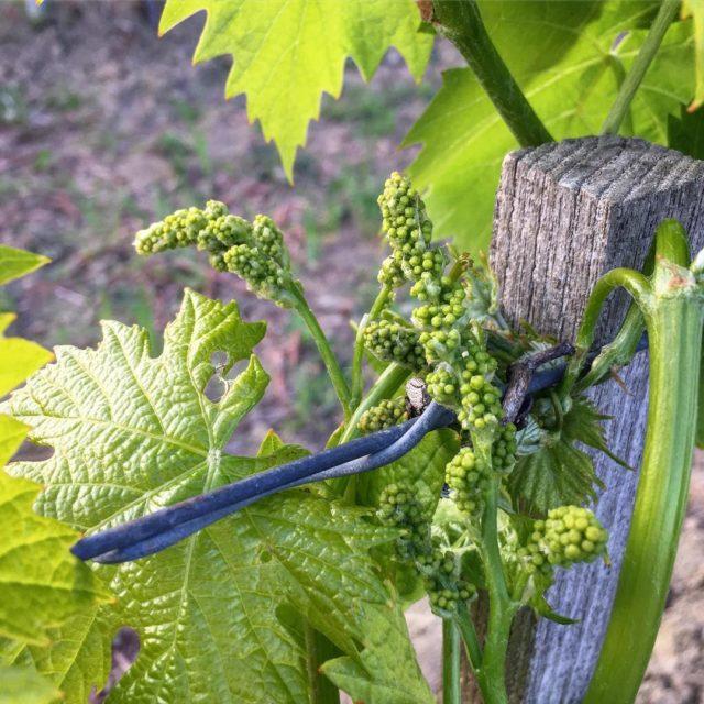 Hello therepottarello marmocchio freghino vinobio lasegretaumbria collazzone madeincollazzone organicwine rarr
