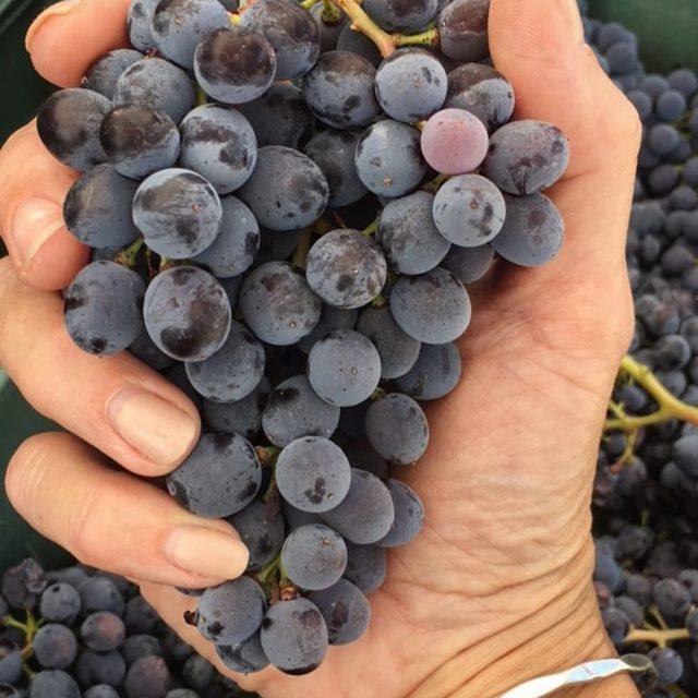 Nothing more beautiful than this harvest2017 pottarello marmocchio organicwine naturalwinehellip