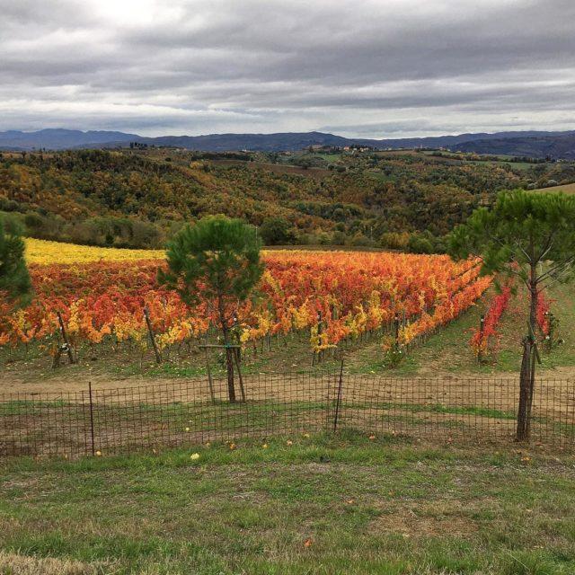 sagrantino in the vineyard cantstopthepictures truecolors evenroses collazzone madeincollazzone lasegretaumbriahellip
